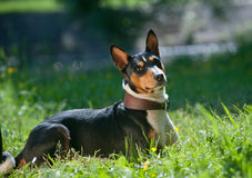 Basenji laying in a grass Stock Photos