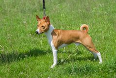 Basenji male demonstrates his exterior Royalty Free Stock Images