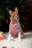 Basenji med jul-träd garneringar Arkivfoto
