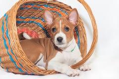 Basenji mignon de chiot de chien Photos libres de droits