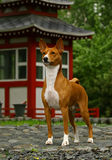 Basenji near Japans hous. The Basenji is a breed of hunting dog that was bred from stock originating in central Africa. Most of the major kennel clubs in the Royalty Free Stock Images