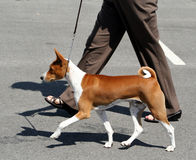 Basenji Pacing. Dog showing her paces Stock Photos