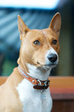 Basenji Royalty Free Stock Photography