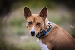 Basenji pies chodzi w parku Zdjęcie Royalty Free