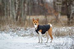 Basenji pies chodzi w polu Zima no jest mnóstwo śniegu na t Obrazy Royalty Free