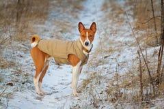 Basenji pies chodzi w polu Zima no jest mnóstwo śniegu na t Zdjęcia Stock