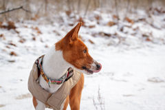 Basenji pies chodzi w polu Zima no jest mnóstwo śniegu na t Zdjęcie Royalty Free