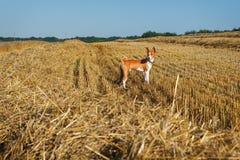 Basenji pies na połogim polu banatka Fotografia Royalty Free