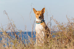 Basenji pies na seashore słoneczny dzień Piasek plaża Obraz Royalty Free