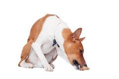 Basenji pies odizolowywający na bielu Obrazy Royalty Free