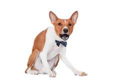 Basenji pies odizolowywający na bielu Zdjęcia Stock