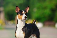 Basenji pies outside na zielonej trawie Obraz Royalty Free