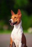 Basenji pies outside na zielonej trawie Zdjęcia Royalty Free