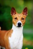 Basenji pies outside na zielonej trawie Zdjęcie Stock