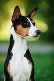 Basenji pies outside na zielonej trawie Zdjęcie Royalty Free