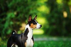Basenji pies outside na zielonej trawie Obrazy Royalty Free