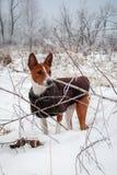 Basenji pies Spacer zimy las Obraz Royalty Free