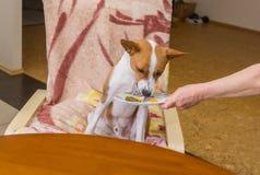 Basenji pies w swój restauraci Zdjęcia Royalty Free