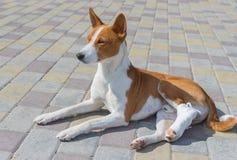 Basenji pies z łamanymi bandażującymi tylnymi ciekami kłama na bruku przy słonecznym dniem obraz royalty free