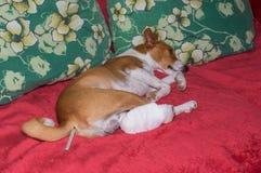 Basenji pies z łamanymi bandażującymi tylnymi ciekami kłama na kanapie z termometrem w odbycie Obrazy Stock