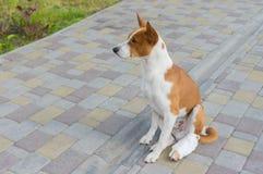 Basenji pies z łamanymi bandażującymi tylnymi ciekami siedzi na bruku fotografia royalty free