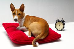 Basenji & pillow Royalty Free Stock Photo