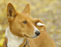 Basenji portrait. Outdoor portrait of a purebred African non-barking Basenji dog Stock Images