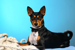Basenji posant dans le studio Photo stock