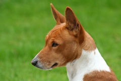 Basenji Profile. Profile of a Barkless Hound who is dreaming up mayhem, just looks innocent. Isn't Stock Image
