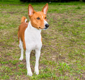Basenji profile. Royalty Free Stock Photos