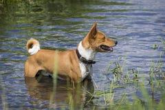 Basenji psa pozycja w wodzie Obraz Royalty Free