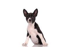 Basenji psa szczeniak Fotografia Royalty Free