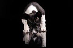 Basenji psa szczeniak Obrazy Royalty Free