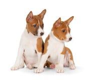 Basenji puppies Royalty Free Stock Photography