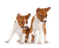 Basenji puppies Royalty Free Stock Photography