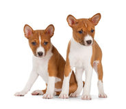 Basenji puppies Royalty Free Stock Images