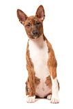 Basenji puppy Royalty Free Stock Photo