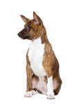 Basenji puppy Stock Photo