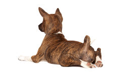 Basenji puppy Royalty Free Stock Photos