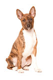 Basenji puppy Stock Photography