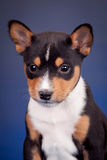 Basenji puppy on a blue background Stock Photo