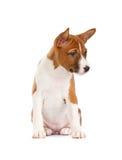 Basenji puppy Stock Images
