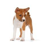 Basenji puppy Stock Photos