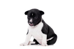 Basenji puppy, isolated on a white background Stock Photography