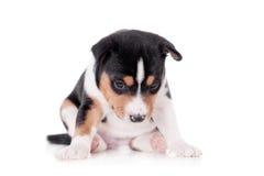 Basenji puppy, isolated on a white background. Little Basenji puppy, 3 weeks, isolated on a white background Royalty Free Stock Image