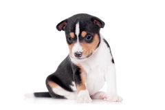 Basenji puppy, isolated on a white background Royalty Free Stock Images