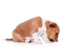 Basenji puppy, isolated on a white background Stock Photos