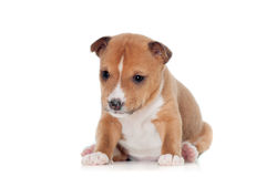 Basenji puppy, isolated on a white background Stock Image
