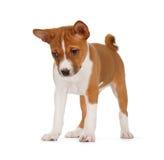 Basenji puppy Stock Photography