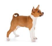 Basenji puppy Stock Photo